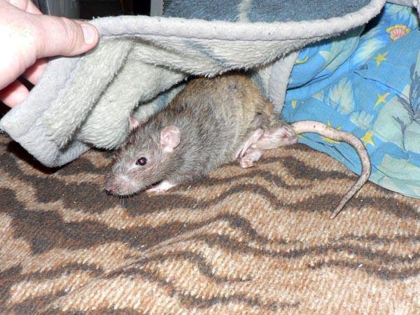 Вывести мышей в домашних условиях 175