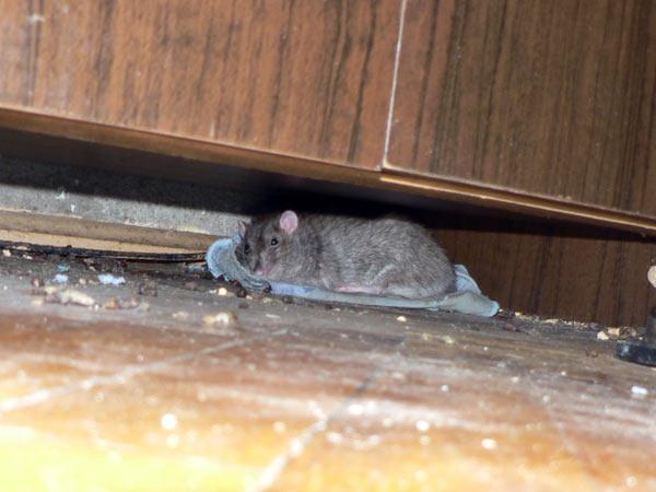 Крыса снится к размолвкам и ссорам с вашим ближайшим окружением.полное описание, что значит во сне видеть крысу, смотрите в наших сонниках.